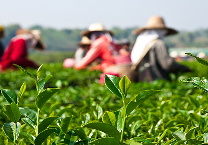 Tea exports fall during January-February 2019