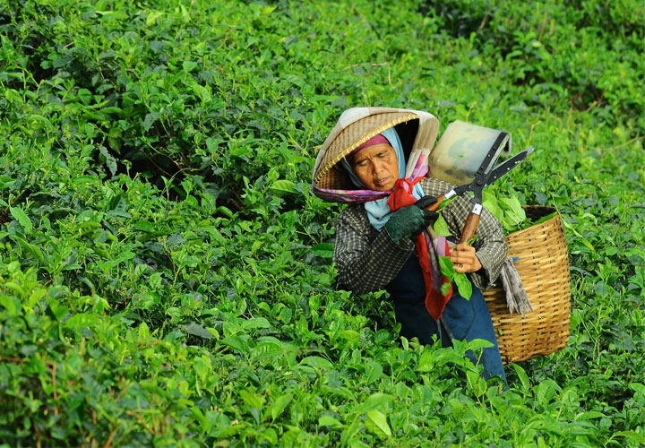 Rise in tea production